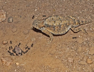 Regal Horned Lizard - Harvester Ants