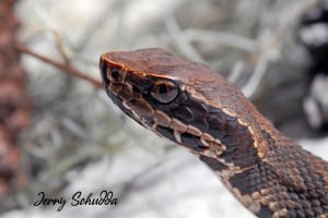 Water Moccasin Aka Cottonmouth