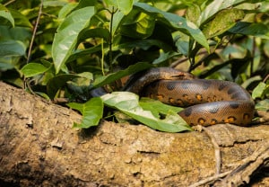 Green Anaconda: I Have My Eyes on You