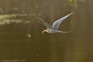 River Tern Sterna aurantia