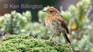 Robin (Erithacus rubecula) (01)