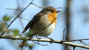 Robin (Erithacus rubecula) (10)