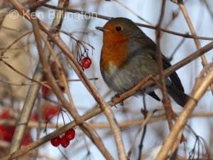 Robin (Erithacus rubecula) (11)