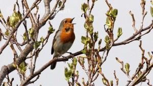 Robin (Erithacus rubecula) (12)