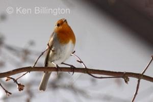 Robin (Erithacus rubecula) (13)