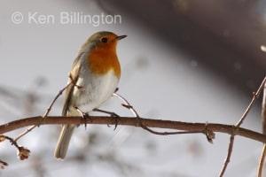 Robin (Erithacus rubecula) (14)