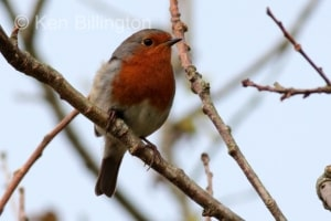 Robin (Erithacus rubecula) (15)