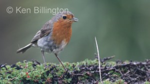 Robin (Erithacus rubecula) (02)