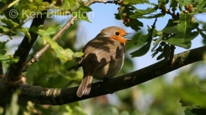 Robin (Erithacus rubecula) (06)