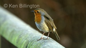 Robin (Erithacus rubecula) (07)