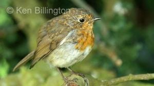 Robin (Erithacus rubecula) (08)