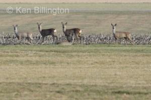 Roe Deer (Capreolus capreolus) (9)