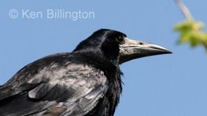 Eurasian Rook (Corvus frugilegus) (07)
