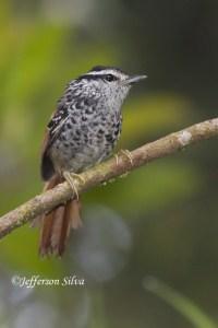 Rufous-tailed Antbird(Drymophilagenei)