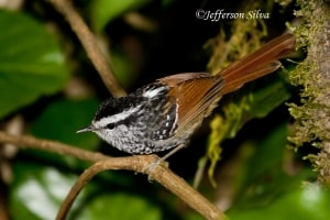 Rufous-tailed Antbird Drymophila genei
