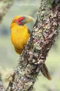 Saffron Toucanet Pteroglossus bailloni