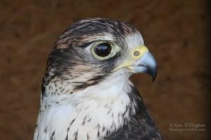 Saker Falcon (Falco cherrug) (1)