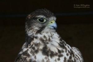Saker Falcon Falco cherrug