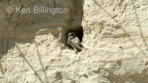 Sand Martin (Riparia riparia)