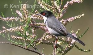 Sardinian Warbler Sylvia melanocephala
