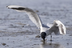 Saunders's Gull (breeding) catching Crab