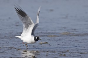 Saunders's Gull (breeding) taking Flight