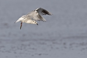 Saunders's Gull (non-breeding) in Flight