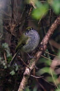 Serra do Mar Tyrannulet Phylloscartes difficilis