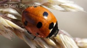 Seven-spot Ladybird (Coccinella septempunctata) (1).jpg