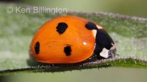 Seven-spot Ladybird (Coccinella septempunctata) (5).jpg