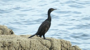 Shag (Phalacrocorax aristotelis) (10)