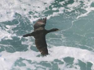 Shag (Phalacrocorax aristotelis) (11)