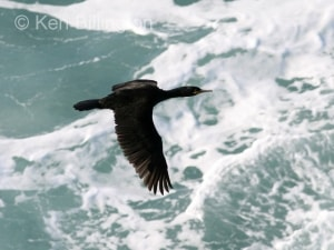 Shag (Phalacrocorax aristotelis) (12)