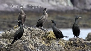 Shag (Phalacrocorax aristotelis) (16)