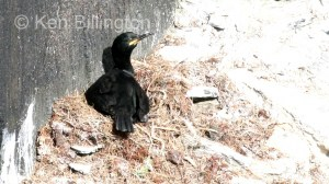 Shag (Phalacrocorax aristotelis) (02)