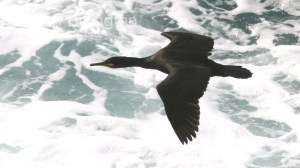 Shag (Phalacrocorax aristotelis) (04)