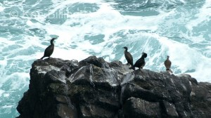 Shag (Phalacrocorax aristotelis) (08)