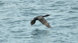 Shag (Phalacrocorax aristotelis) (09)