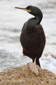 Shag (Phalacrocorax aristotelis) (22)