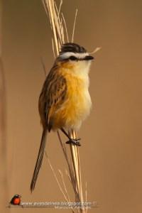 Sharp-tailed Tyrant (Culicivora caudacuta) (03)