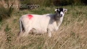 Sheep (Ovis aries) (2)