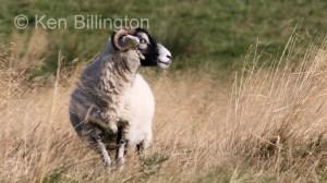 Sheep (Ovis aries) (3)