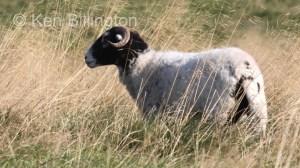 Sheep (Ovis aries) (4)