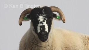 Sheep (Ovis aries) (5)