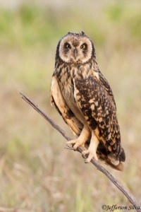Short-eared Owl - 1