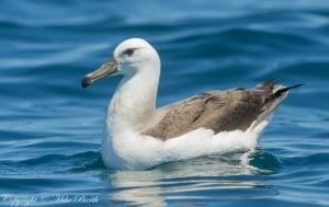 Shy Albatross Thalassarche Cauta (NT)