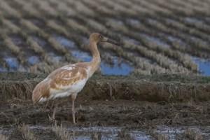 Siberian Crane (juvenile)