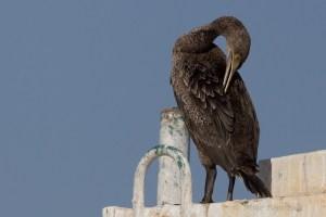 scormorant_6359