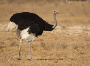 Somali Ostrich Struthio molybdophanes