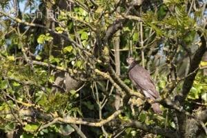 Sparrow Hawk (Accipiter nisus) (2)